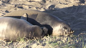 Elephant Seals on the Beach Zoom Out stock video footage