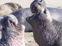 Elephant Seals Stock Image