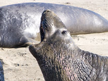 Elephant Seals. Big Sur, California. Elephant seals on the beach Stock Images