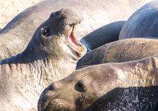 Elephant Seals. Big Sur, California. Elephant seals on the beach Royalty Free Stock Photo