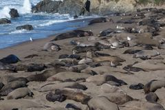 Elephant Seals in Breeding Season Stock Images
