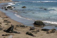 Elephant seals in California Royalty Free Stock Photography