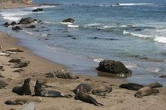 Elephant seals in California Stock Photography