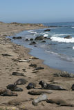 Elephant seals in California Stock Photo