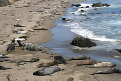 Elephant seals in California Stock Images