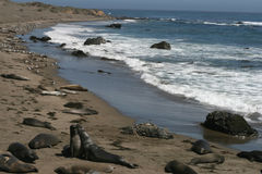 Elephant seals in California Stock Photos