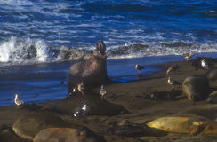 Elephant Seals, California Stock Image