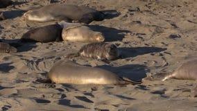 Elephant Seals on a California Beach stock footage