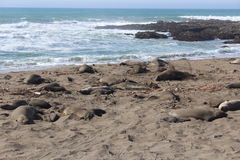 Elephant Seals on California Beach in Winter Royalty Free Stock Image