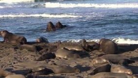 Elephant Seals on the California Coast stock video footage
