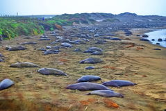 Elephant Seals California Royalty Free Stock Image