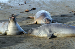 Elephant Seals cavorting. Three elephant seals lazing on California beach royalty free stock photography