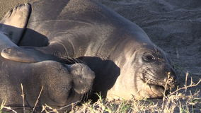 Elephant Seals Close up stock video footage