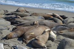 Elephant seals Royalty Free Stock Photos