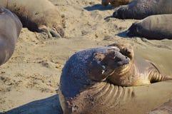 Elephant Seals Stock Photos