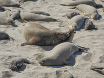 Elephant seals colony. Elephant seal rookery on Piedra Blancas beach in Big Sur California Royalty Free Stock Images