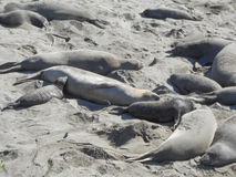 Elephant seals colony. Elephant seal rookery on Piedra Blancas beach in Big Sur California Royalty Free Stock Photo