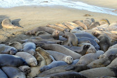 Elephant Seals crowded. Elephant Seals pack tightly together along sandy beach stock photography