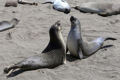 Elephant Seals #2 Stock Image