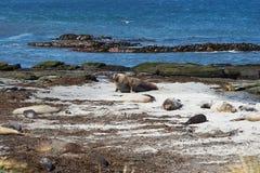 Elephant Seals - Falkland Islands Royalty Free Stock Photos