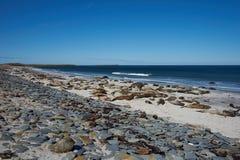 Elephant Seals - Falkland Islands Royalty Free Stock Photo