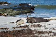 Elephant Seals - Falkland Islands Royalty Free Stock Image