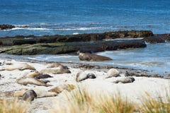 Elephant Seals - Falkland Islands Stock Images