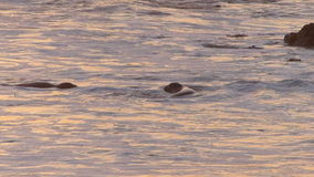 Elephant Seals Fight for Dominance on the Beach in Stock Image