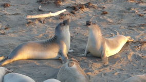 Elephant Seals Fight for Dominance on the Beach in stock footage