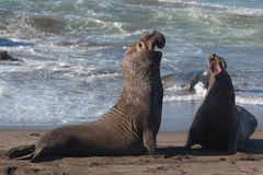 Elephant Seals Fighting Royalty Free Stock Photo