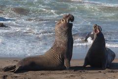Elephant Seals Fighting Royalty Free Stock Photo
