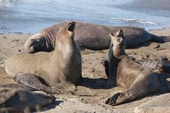 Elephant Seals Fighting Royalty Free Stock Images