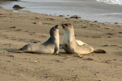 Elephant seals fighting at the beach Royalty Free Stock Photography