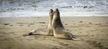 Elephant seals fighting on the beach Stock Image