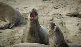 Elephant seals fighting on the beach Royalty Free Stock Images