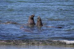Elephant seals Stock Photography