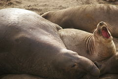 Elephant seals. Gathering at the beach of San Simeon California for breeding season Stock Image