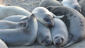 Elephant Seals Gathering Together For Warmth stock video footage