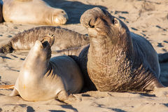 Elephant Seals Interact in Breeding Season Royalty Free Stock Photography