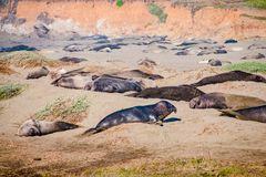 Elephant seals laying on the beach sunbathing in USA.  royalty free stock photos