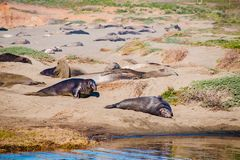 Elephant seals laying on the beach sunbathing in USA.  stock photography