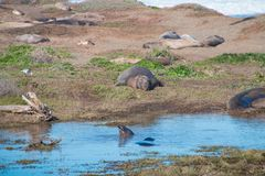 Elephant seals laying on the beach sunbathing in USA.  stock photos