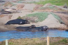 Elephant seals laying on the beach sunbathing in USA. California royalty free stock photography