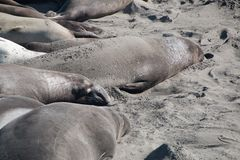 Elephant seals laying on the beach sunbathing in USA. California stock photography