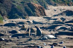 Elephant seals laying on the beach sunbathing in USA. California stock image