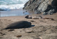 Elephant seals laying on the beach sunbathing in USA. California stock photos
