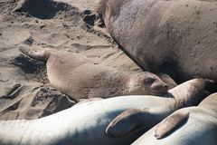 Elephant seals laying on the beach sunbathing in USA. California royalty free stock image