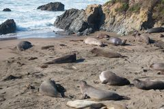 Elephant seals laying on the beach sunbathing in USA. California royalty free stock photos