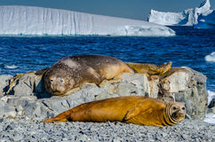 Elephant Seals laying on rocks. Southern Elephant seals (Mirounga leonina) resting on beach in front of ice-bergs Stock Photo