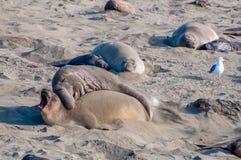 Elephant Seals In Love stock image